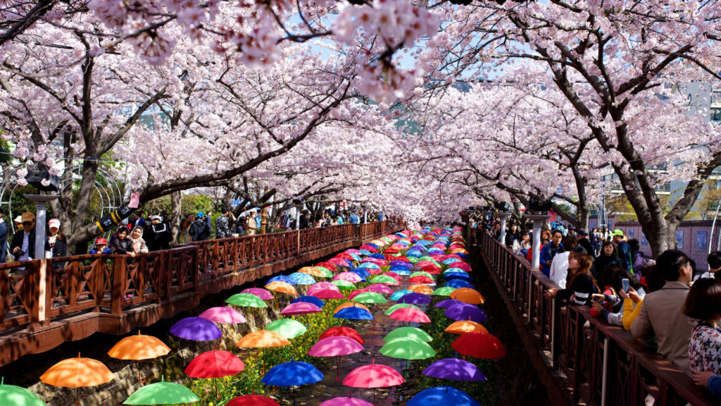 cherry blossom in seoul